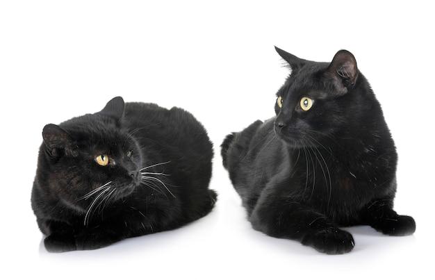 Czarne koty w studio