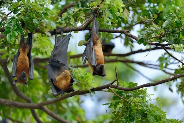 Czarne latające lisy (pteropus alecto) wiszące na drzewie