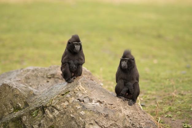 Czarne małpy makaki siedzą na ogromnej skale ze skrzyżowanymi rękami w krzakowym polu