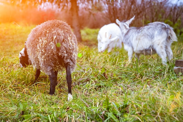 Czarne owce i białe kozy pasą się na trawie. ścieśniać
