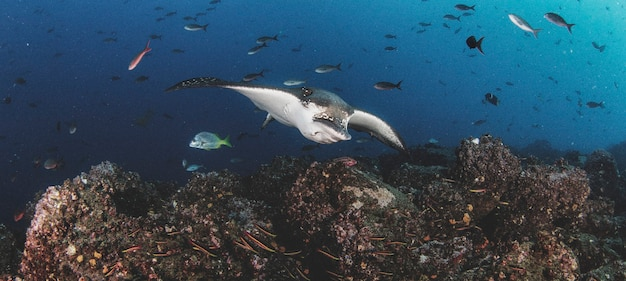 Czarne plamy orła promienie pływają w tropikalnych podwodnych wodach. promień mobula w podwodnym świecie. obserwacja świata zwierząt. przygoda z nurkowaniem na ekwadorskim wybrzeżu galapagos