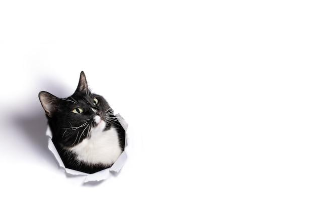 Czarno-biała głowa kota w dziurze w białym papierze i patrzy z zaskoczenia w górę.