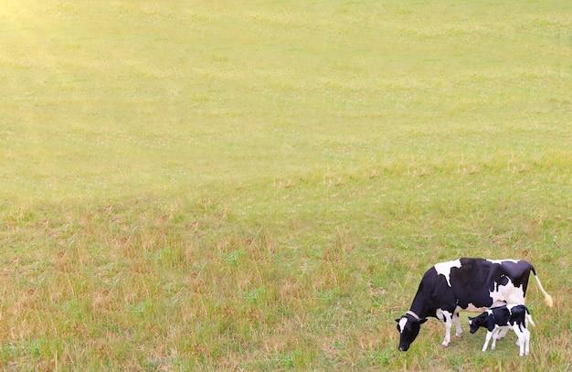 Czarno-biała krowa z cielęciem pasącym się na trawiastym polu