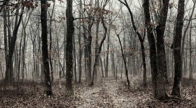 Czarno-biała mgła w pięknym lesie las iglasty o świcie