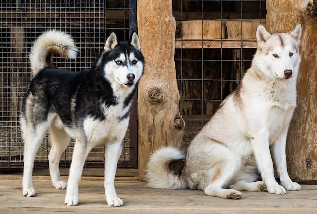 Czarno-białe i jasne psy husky w hodowli