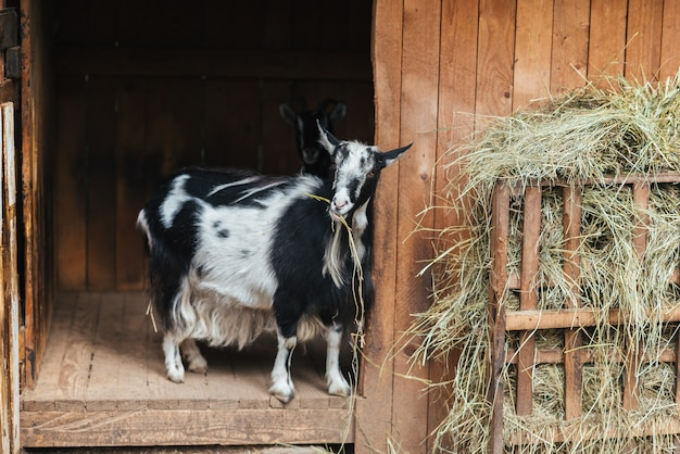 Czarno-białe kozie żujące siano