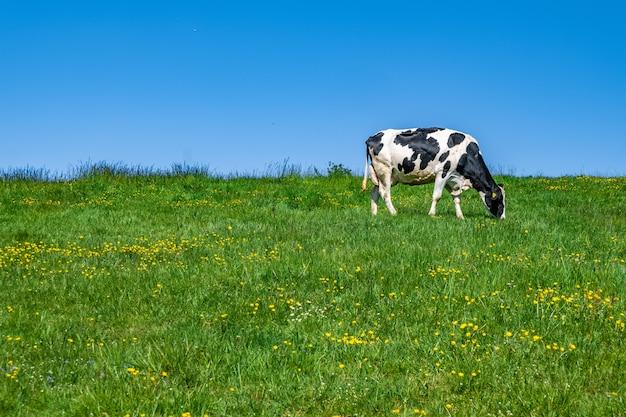 Czarno-białe krowy pasą się na pastwisku w ciągu dnia