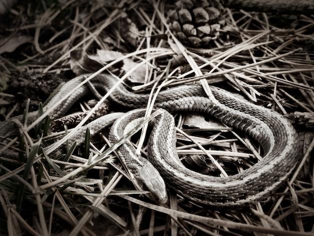 Czarno-białe ujęcie węża do pończoch zwiniętego w gnieździe trawy