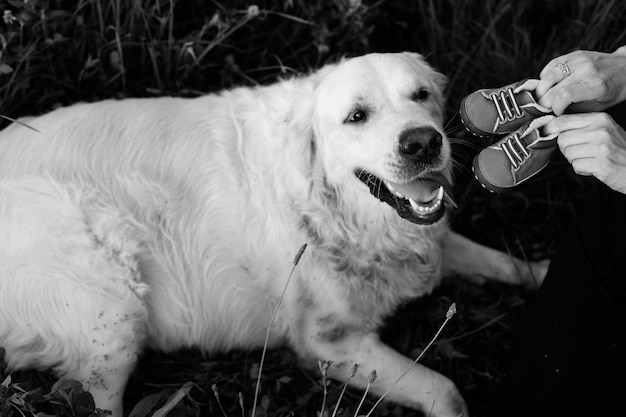 Czarno-białe zdjęcie labradora leżącego w trawie i patrzącego ze zdziwieniem na dziecięce buty, które pokazują mu właściciele. rozmowa z psem. czekam na dziecko. dodatek do rodziny. śmieszne momenty.