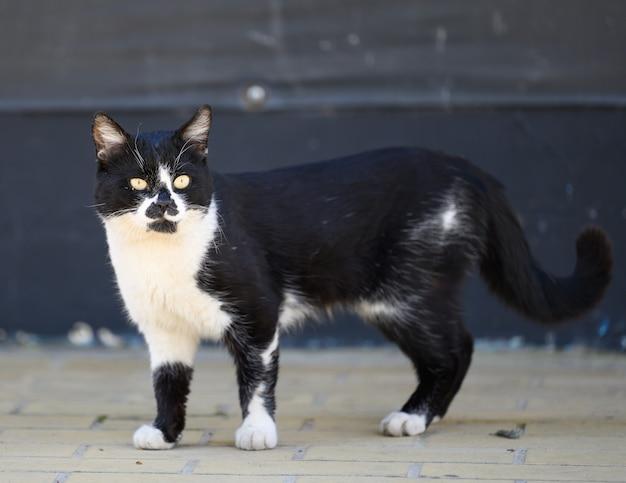 Czarno-biały bezdomny kot uliczny spaceruje ulicą w wiosenny dzień