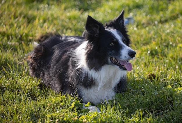 Czarno-biały border collie leżący na zielonej trawie