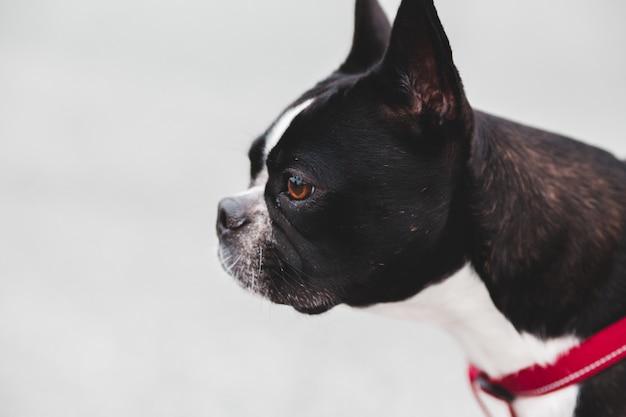 Czarno-biały boston terrier