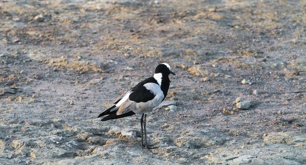 Czarno-biały brodziec w serengeti. tanzania, afryka