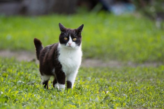 Czarno-biały kot na zielonej trawie