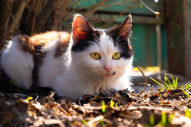 Czarno-biały kotek wygrzewa się w wiosennym słońcu