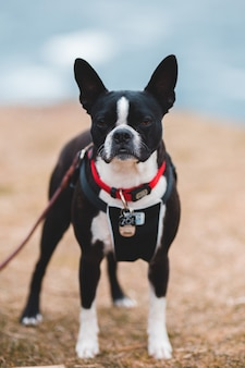 Czarno-biały, krótki, pokryty pies stojący na ziemi