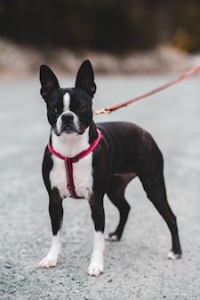 Czarno-biały, krótkowłosy pies na szarej betonowej podłodze w ciągu dnia