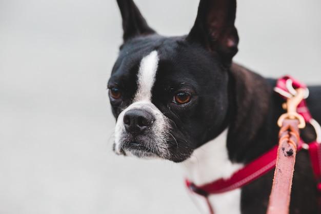 Czarno-biały, krótkowłosy pies