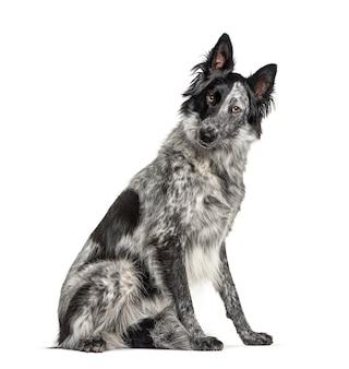 Czarno-biały pies mieszańcowy, pies rasy border collie i malinois