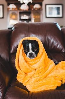 Czarno-biały pies pokryty żółtym kocem