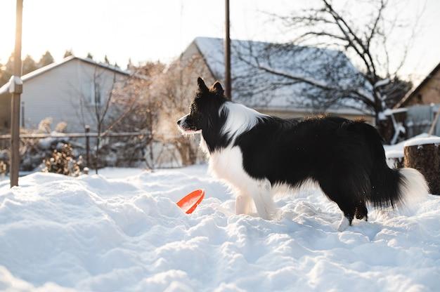 Czarno-biały pies rasy border collie bawi się z psem frisbee w śniegu