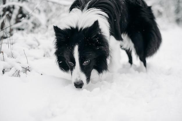 Czarno-biały pies rasy border collie w zaśnieżonym lesie