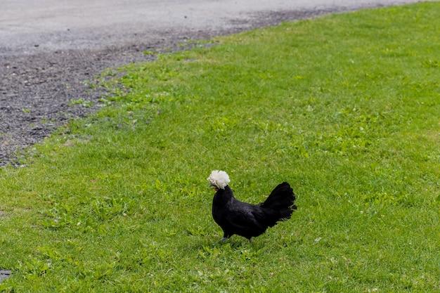 Czarno-biały polski kurczak spaceruje po trawie.