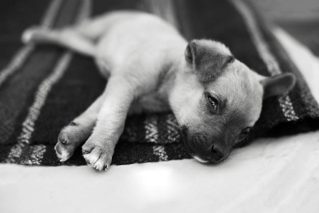 Czarno-biały portret piesek śpi na podłodze.