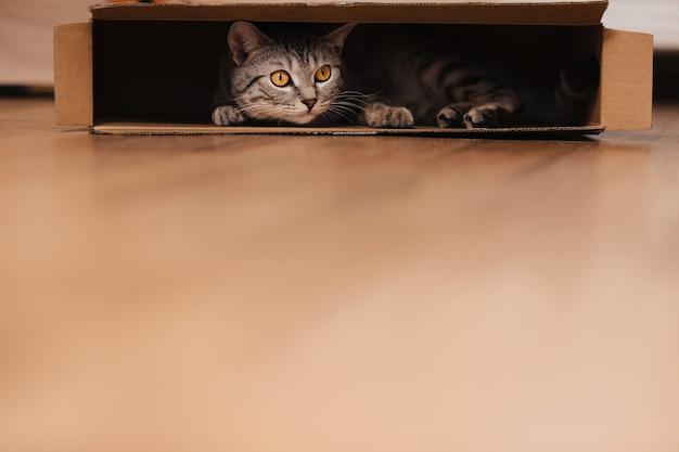Czarno-biały pręgowany kot wdrapał się do kartonowego pudła na podłodze i bawił się w nim.