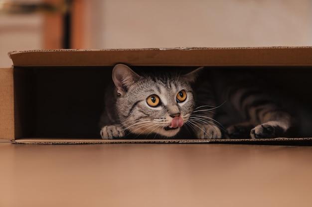 Czarno-biały pręgowany kot wspiął się do kartonowego pudła na podłodze i bawił się w nim.