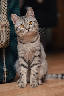 Czarno-biały pręgowany kot z pomarańczowymi oczami. kot siedzi na podłodze w pobliżu sofy lub krzesła.