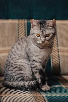 Czarno-biały pręgowany kot z pomarańczowymi oczami. kot siedzi na sofie lub fotelu.