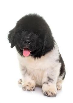 Czarno-biały szczeniak pies nowofundland