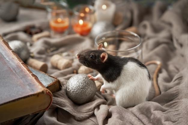 Czarno-biały szczur wśród świątecznych zabawek i świec