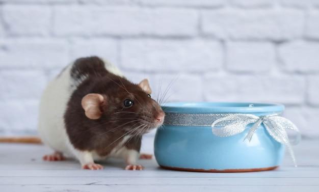 Czarno-biały szczur zjada śmietanę z niebieskiego glinianego naczynia