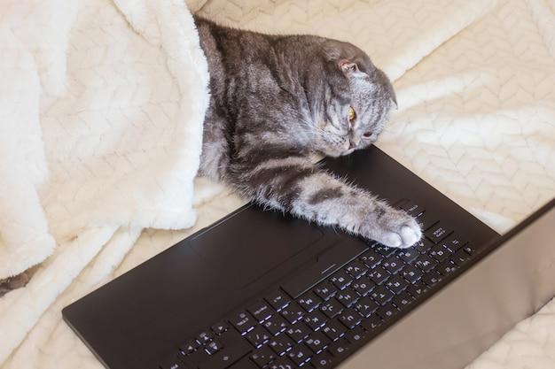 Czarno-szary kot szkocki zwisłouchy o żółtych oczach patrzy na monitor laptopa, leżąc na sofie