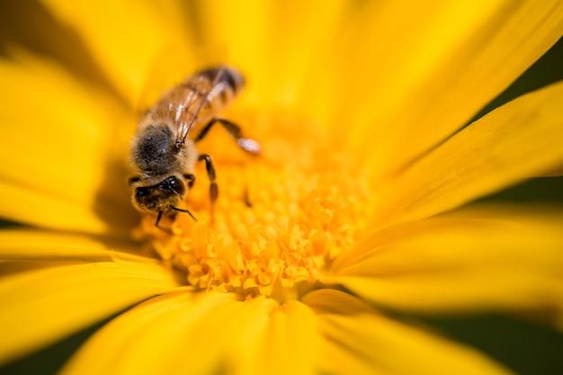 Czarno-żółta pszczoła na żółtym kwiacie