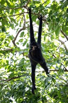 Czarnogłowa małpa pająka z gatunku ateles chamek