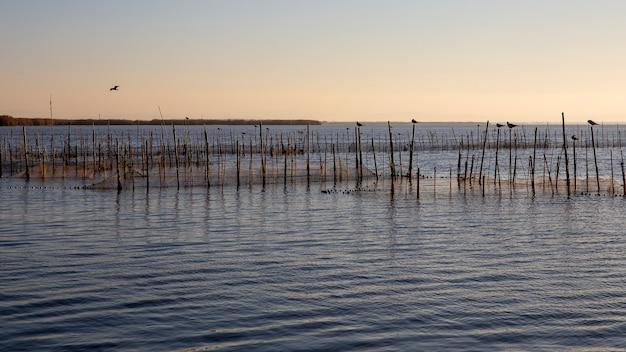 Czarnogłowy mewy i zachód słońca w albufera w walencji, walencja, hiszpania.