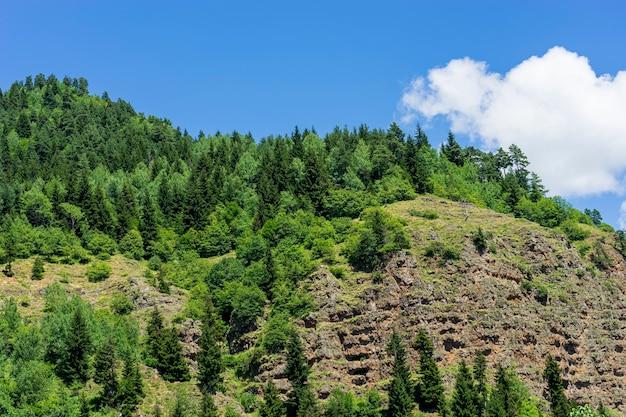 Czarnomorski indyk i zielone sosny leśny krajobraz z błękitnym pochmurnym niebem