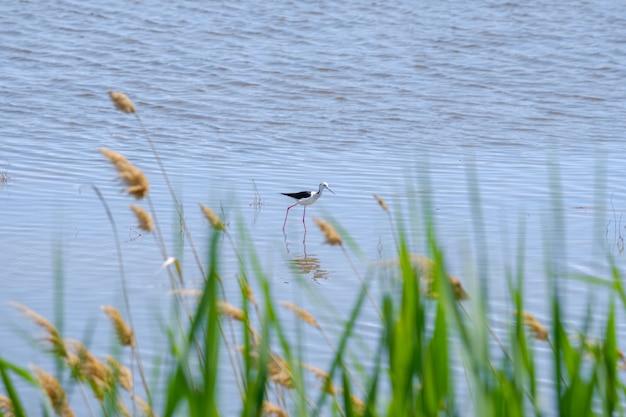 Czarnoskrzydła czajka na szczudlałych nogach szuka pożywienia w płytkiej wodzie w słoneczny dzień