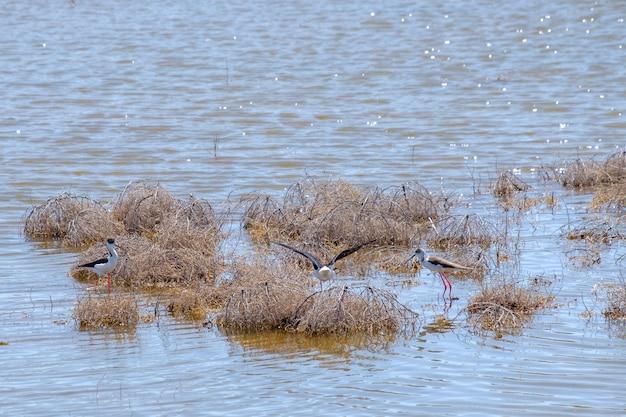 Czarnoskrzydłe czajki na szczudłach szukają pożywienia w płytkiej wodzie w suchej trawie