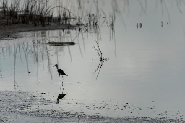 """Czarnoskrzydłe szczudło (himantopus himantopus) w ciemny dzień w """"raco de l´olla"""", parku przyrody albufera w walencji."""