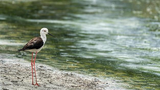 """Czarnoskrzydłe szczudło (himantopus himantopus) w """"raco de l´olla"""", parku przyrody albufera w walencji."""