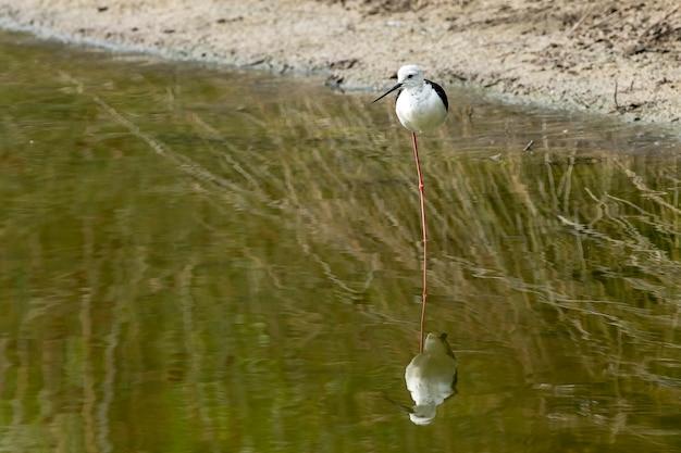 """Czarnoskrzydłe szczudło (himantopus himantopus) w """"raco de l´olla"""" z odbiciem, park przyrody albufera w walencji."""