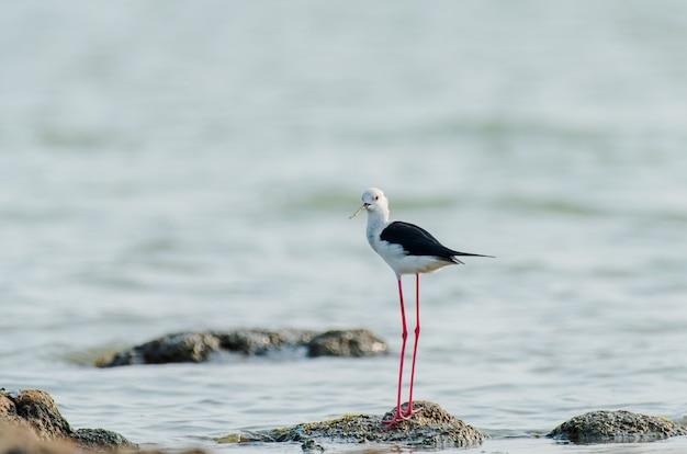Czarnoskrzydły ptak na szczudłach stojący na kamieniu w oceanie w indiach