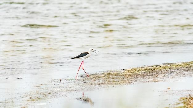 Czarnoskrzydły ptak stilt w płytkiej wodzie (himantopus himantopus) anapa, rosja.