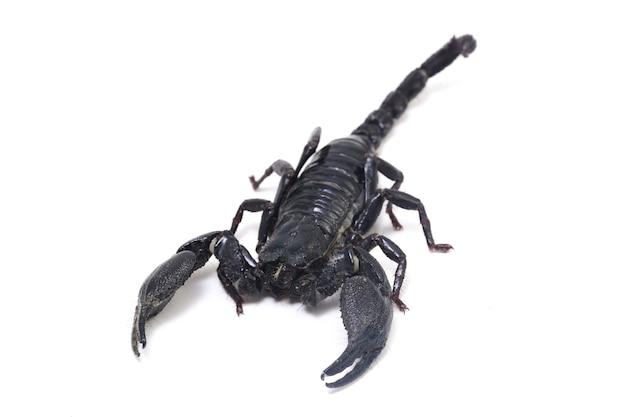 Czarny azjatycki skorpion leśny (heterometrus) na białym tle