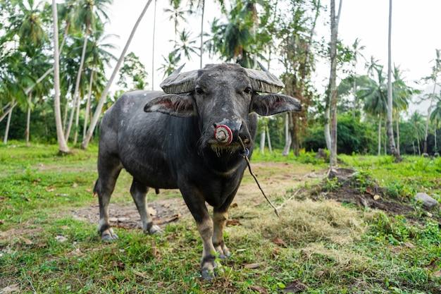 Czarny bawół pasie się na łące w tropikalnej dżungli