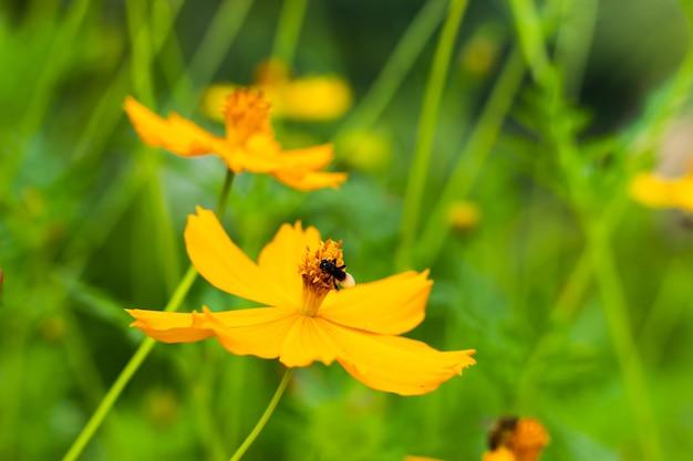 Czarny błąd na żółty kosmos sulphureus cav kwiaty.